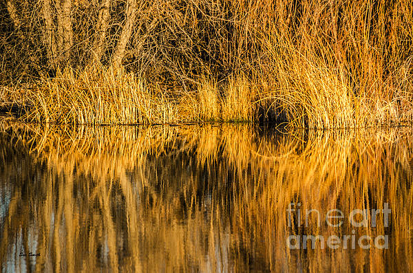 Golden Reflections Print by Sue Smith