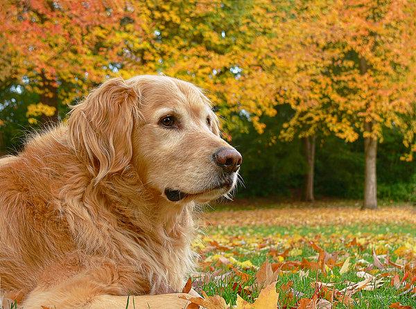 Golden Retriever Dog Autumn Leaves Print by Jennie Marie Schell