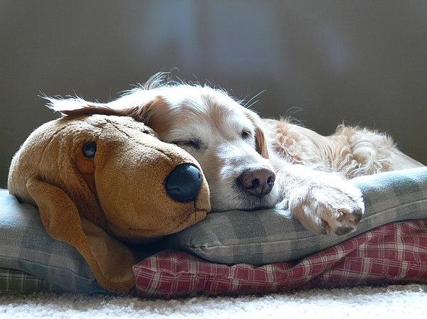 Golden Retriever Dog Sleeping With My Friend Print by Jennie Marie Schell