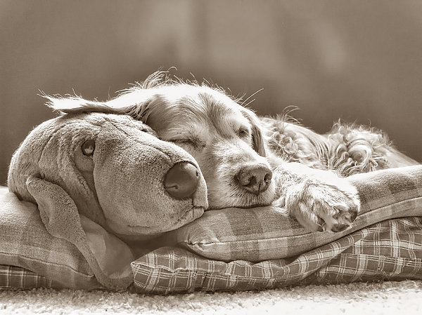 Golden Retriever Dog Sleeping With My Friend Sepia Print by Jennie Marie Schell