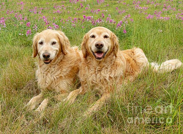 Jennie Marie Schell - Golden Retriever Dogs Smiles