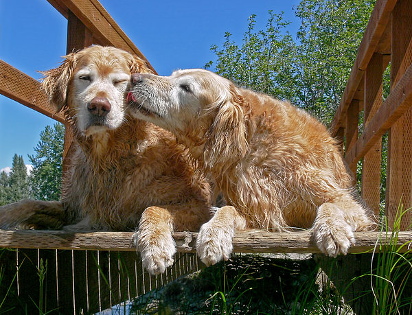 Golden Retriever Dogs The Kiss Print by Jennie Marie Schell