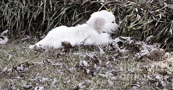 Golden Retriever Puppy 2 Print by Andrea Anderegg