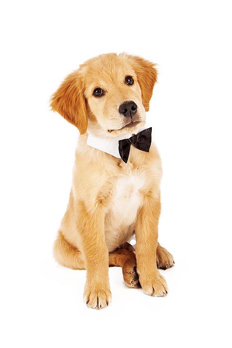 Golden Retriever Puppy Wearing Bow Tie Print by Susan  Schmitz