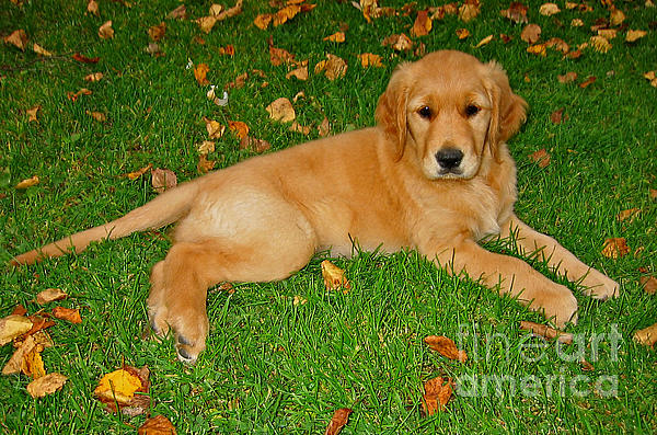 Golden Retriever Print by Teresa Zieba