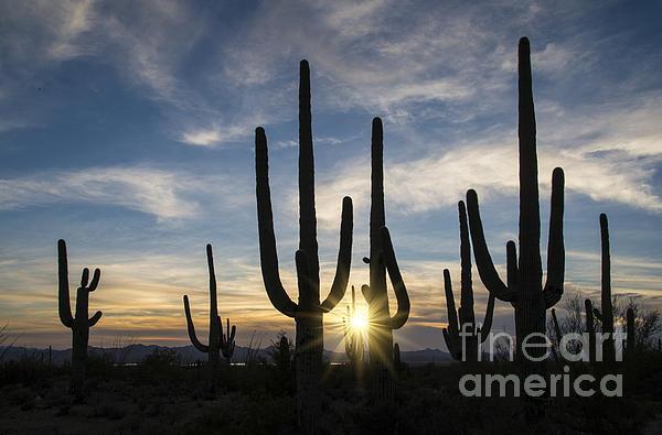 Golden Sunset - Saguaro National Park Print by Sandra Bronstein