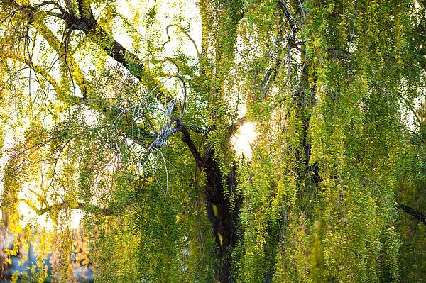 Golden Treelight Print by Mike Lee