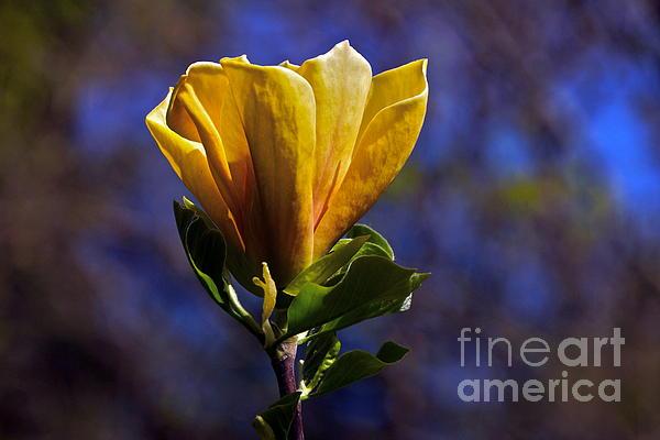 Golden Yellow Magnolia Blossom Print by Byron Varvarigos