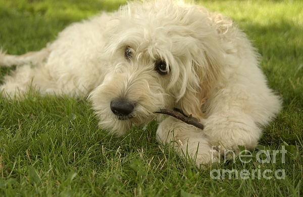 Goldendoodle Pup With Stick Print by Anna Lisa Yoder