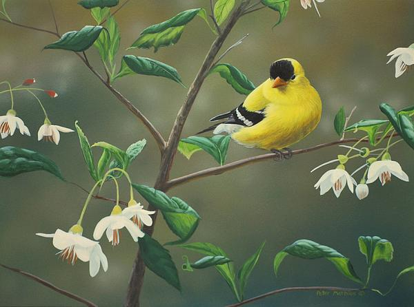 Goldfinch And Snowbells Print by Peter Mathios