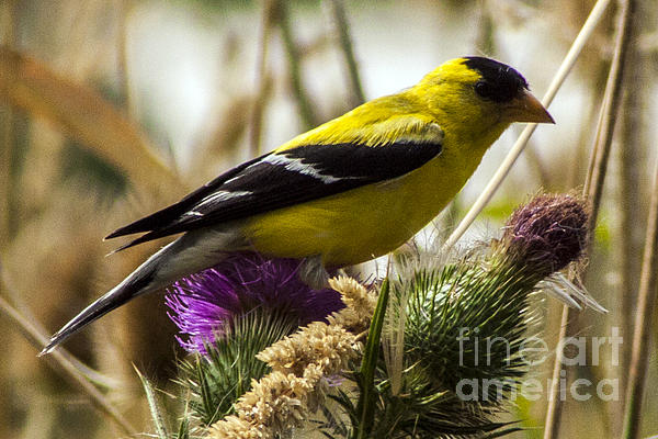 Darleen Stry - Goldfinch atop a Purple Thistle