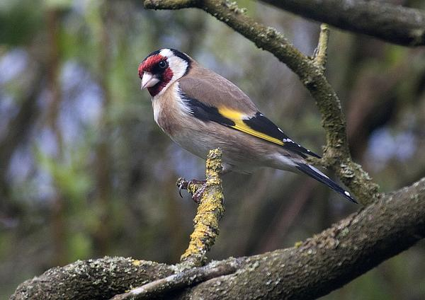 Richard Thomas - Goldfinch
