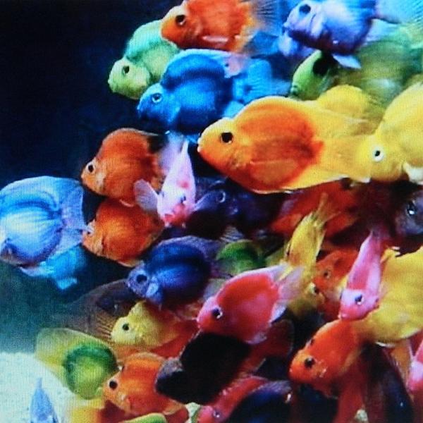 Goldfish Symphony Print by Gunter  Hortz