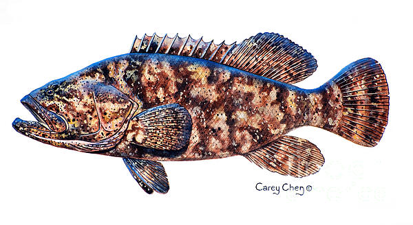 Goliath Grouper Print by Carey Chen