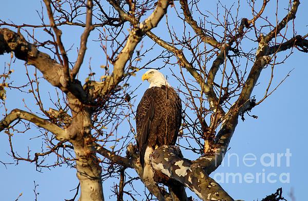Good Morning America Eagles : Good morning mr bald eagle by darrin aldridge