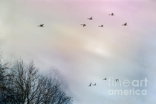 Goose Flight Print by Hannes Cmarits