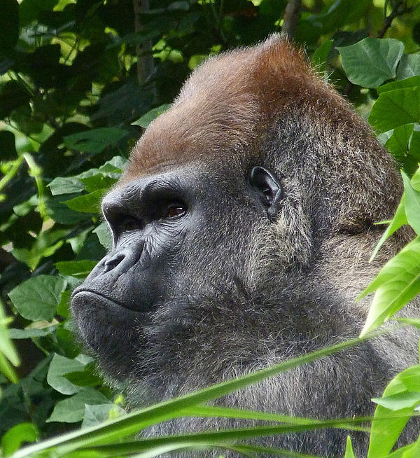Margaret Saheed - Gorilla Group Leader Relaxing