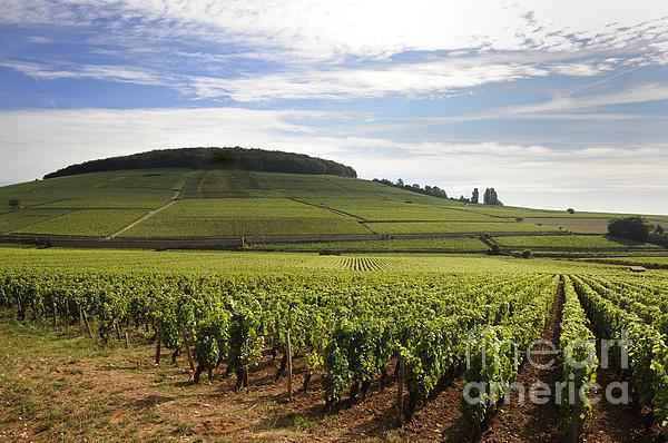 Grand Cru And Premier Cru Vineyards Of Aloxe Corton. Cote De Beaune. Burgundy. Print by Bernard Jaubert