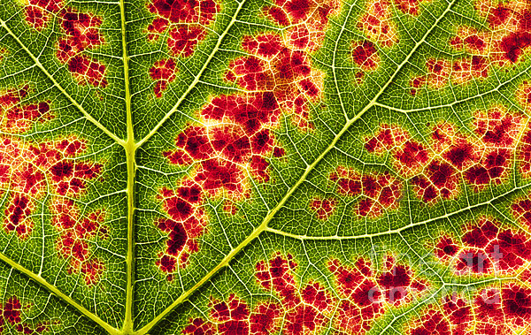 Grape Leaf Texture Print by Tim Gainey