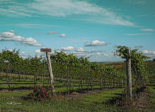 Grape Vines Print by Jeff Swanson