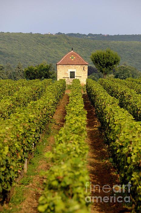 Grapevines. Premier Cru Vineyard Between Pernand Vergelesses And Savigny Les Beaune. Burgundy. Franc Print by Bernard Jaubert