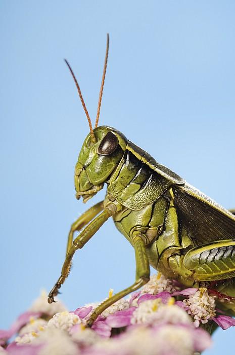 Grasshopper Close-up Print by Thomas Kitchin & Victoria Hurst