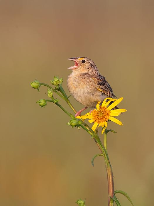 Grasshopper Sparrow Singing Print by Daniel Behm