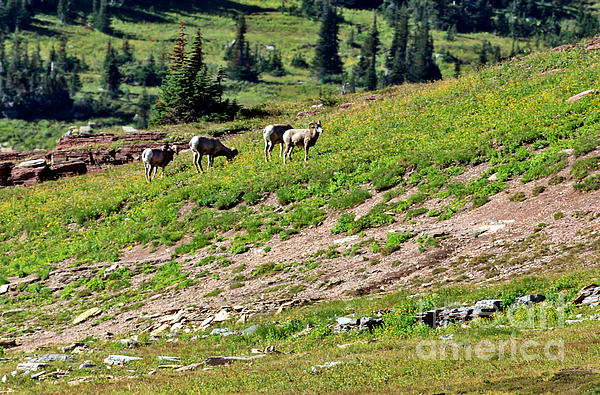Robert Bales - Grazing Big Horn Sheep