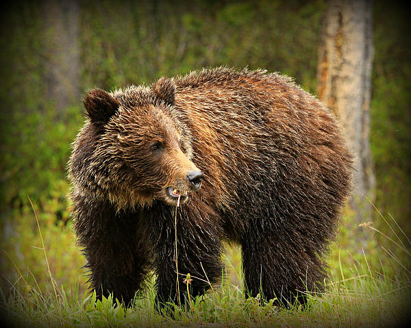 Grazing Grizzly Print by Stephen Stookey