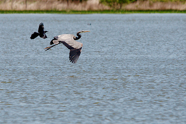 Great Blue Chased By A Grackle Print by Roy Williams