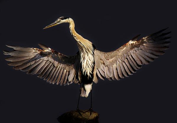 Great Blue Heron - # 15 Print by Paulette Thomas