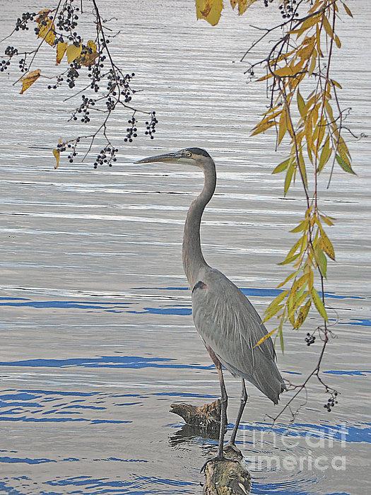 Great Blue Heron Print by Ann Horn