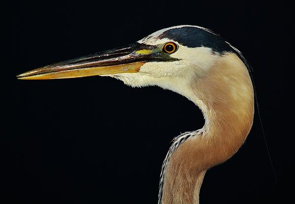 Great Blue Heron At Night Print by Paulette Thomas