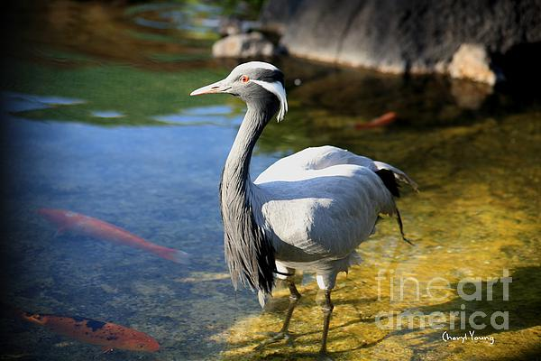 Great Blue Heron Print by Cheryl Young