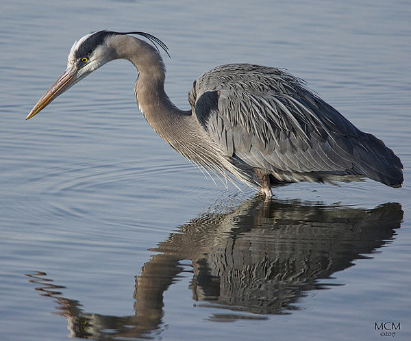 Great blue heron fishing by mcm photography for Blue heron fishing