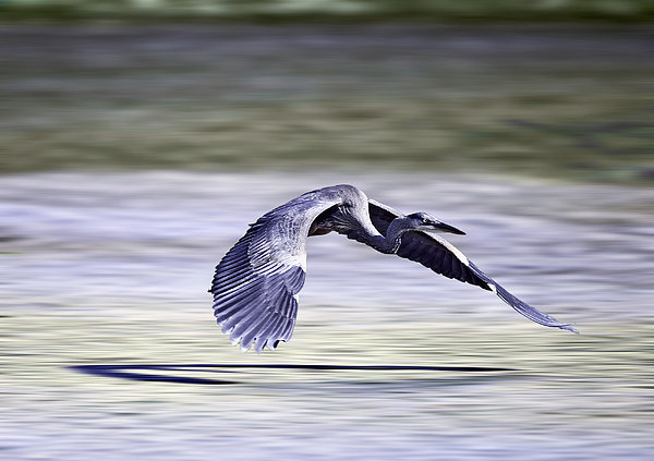 Great Blue Heron In Flight Print by John Haldane