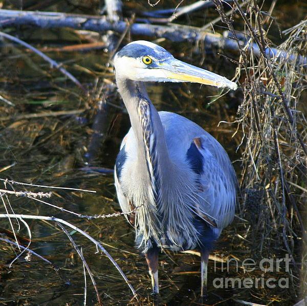 Neal  Eslinger - Great Blue Heron in Square