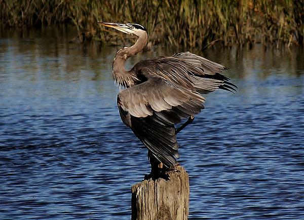 Great Blue Heron In The Marsh - # 17 Print by Paulette Thomas