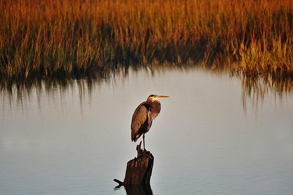 Great Blue Heron In The Marsh - # 20 Print by Paulette Thomas
