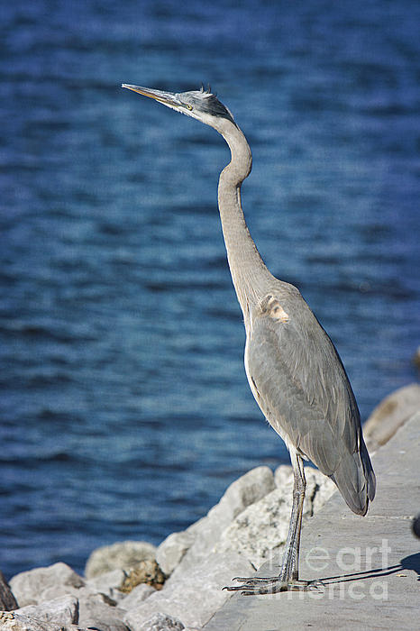 Great Blue Heron Print by Joan McCool