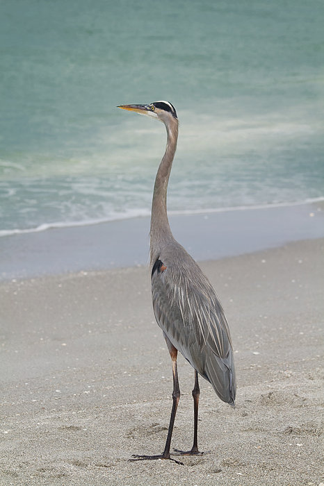 Great Blue Heron Print by Kim Hojnacki