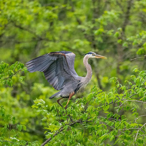 Paul Freidlund - Great Blue Heron Landing