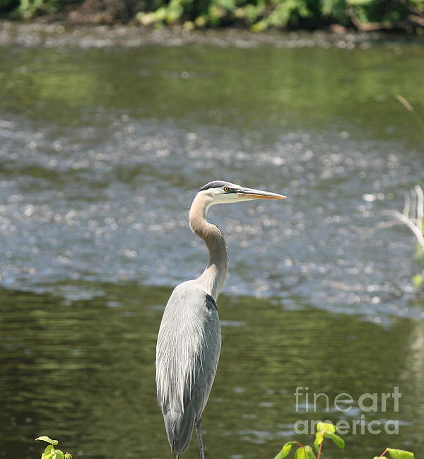 Neal  Eslinger - Great Blue Heron Portrait
