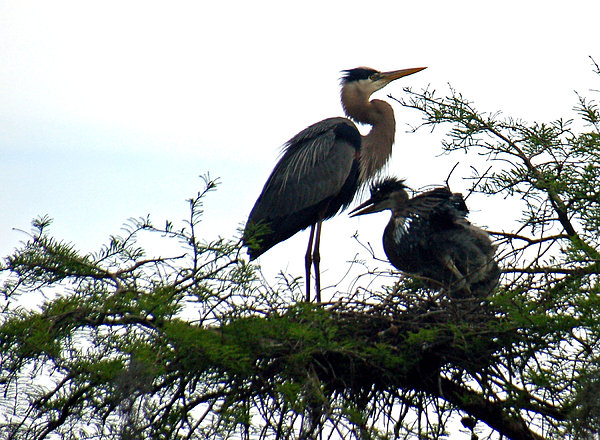 Great Blue Heron With Fledglings II Print by Suzanne Gaff