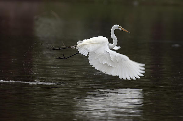 Great Egret Takeoff Print by Gary Langley