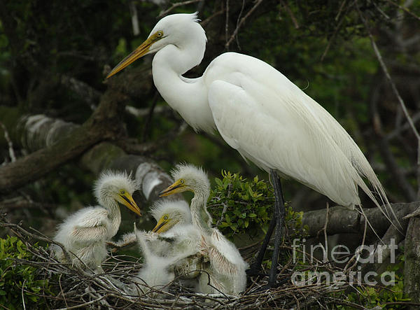 Great Egret With Young Print by Bob Christopher