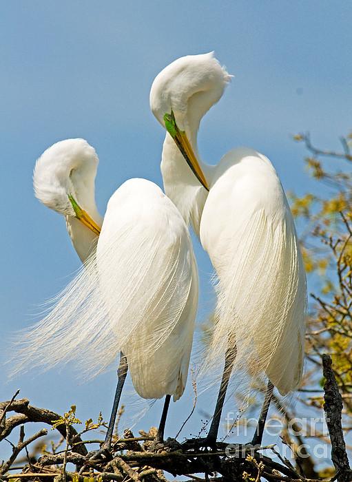 Great Egrets At Nest Print by Millard H Sharp