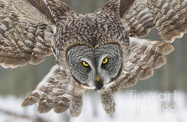 World Wildlife Photography - Great Gray Owl Pictures 648