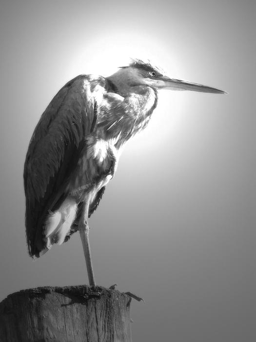 Great Heron Print by Aczarina Koontz