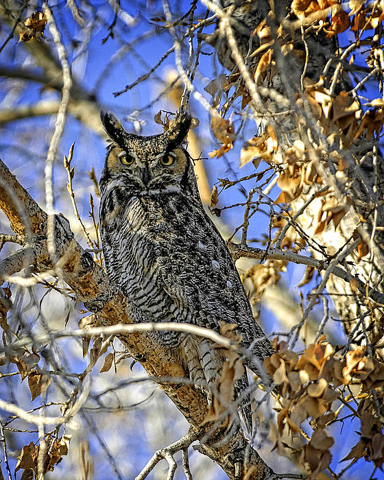 Charles Feagans - Great Horned Owl